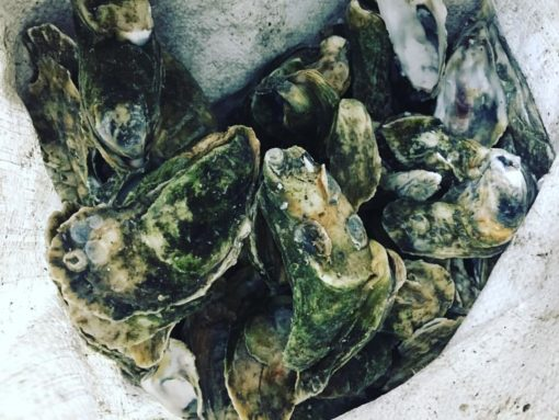 Topsail Sound Oysters at the Carolina Meat & Fish Co
