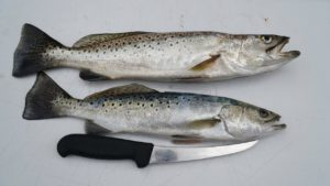 NC Speckled Trout