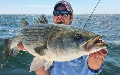 Wild Striped Bass